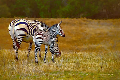 Zebra Mom And Foal Poster by Dyle   Warren