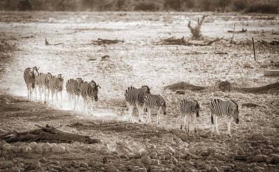 Zebra Parade Poster by Duane Miller