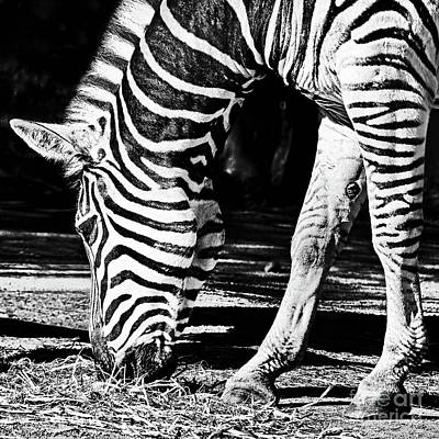 Zebra Portrait Black And White By Kaye Menner Poster