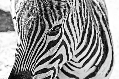 Zebra Poster by Scott Pellegrin