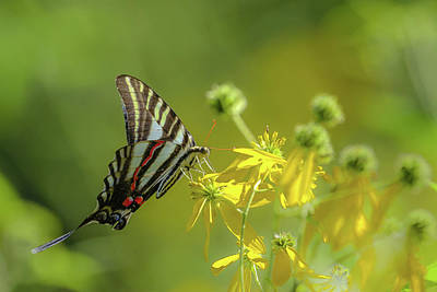 Poster featuring the photograph Zebra Swallowtail Butterfly by Lori Coleman