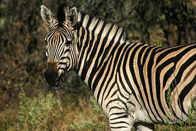 Poster featuring the painting Zebra Watching by Karen Zuk Rosenblatt