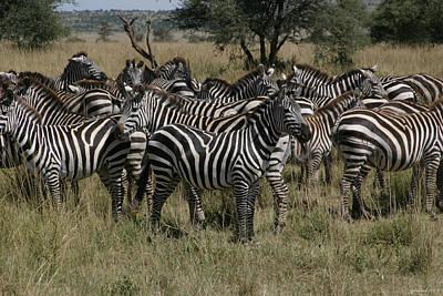 Zebra Zebra Zebra Poster