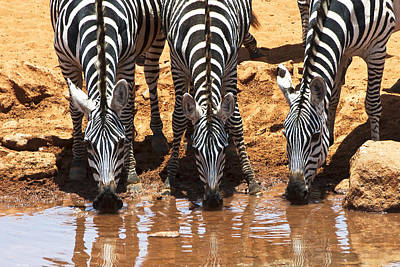 Zebras At The Watering Hole Poster by Marion McCristall