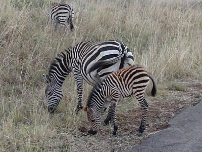 Zebras In Kenya 1 Poster by Exploramum Exploramum