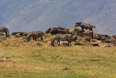 Zebras In The Ngorongoro Crater, Tanzania Poster by Aidan Moran