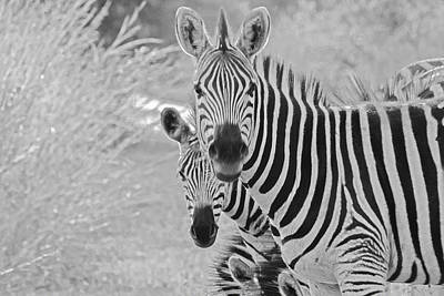 Zebras Poster by Patrick Kain