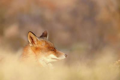 Zen Fox Series - Dream Fox Poster by Roeselien Raimond