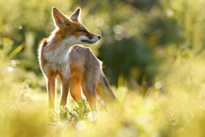 Zen Fox Series - Happy Fox Is Happy Poster by Roeselien Raimond