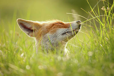Zen Fox Series - Summer Zen Fox Poster by Roeselien Raimond