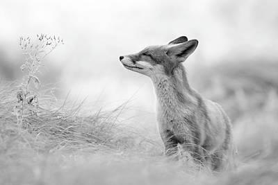Zen Fox Series - Zen Fox In Black And White Poster by Roeselien Raimond