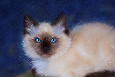 Zen Ragdoll Cat Poster by Michelle Wrighton