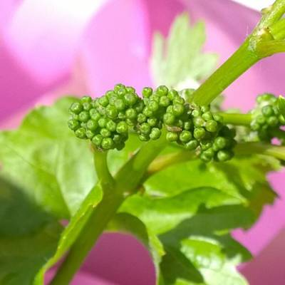#zinfandel #wine #grapes Baby Buds Poster
