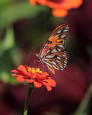 Zinnia With Butterfly 2668 Poster