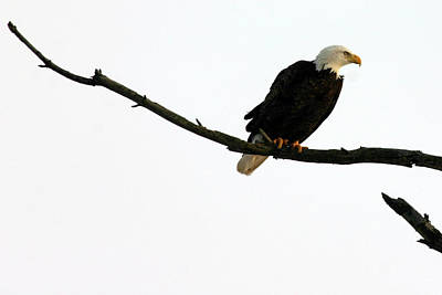 Bald Eagle 120501 Poster