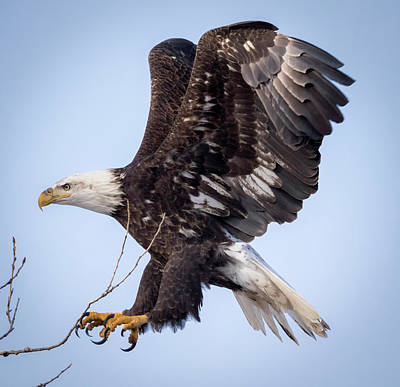 Poster featuring the photograph Eagle Coming In For A Landing by Ricky L Jones