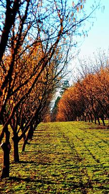 Poster featuring the photograph Hazelnut Orchard 21578 by Jerry Sodorff