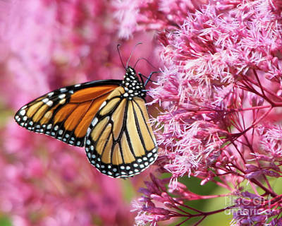 Poster featuring the photograph Monarch Butterfly by Debbie Stahre