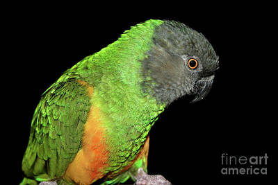 Poster featuring the photograph Senegal Parrot by Debbie Stahre