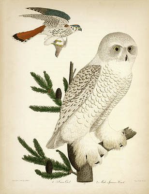 1. Snow Owl. 2. Male Sparrow-hawk. Poster