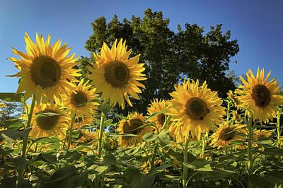 Sunlit Sunflowers Poster