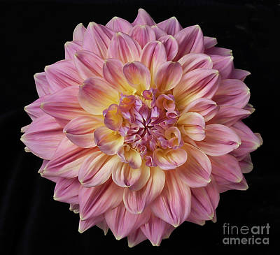 Poster featuring the photograph Dahlia 'mingus Philip Sr' by Ann Jacobson
