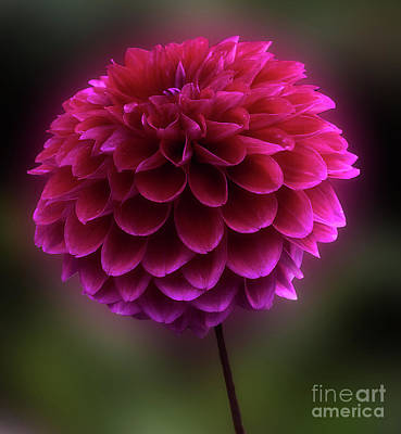 Poster featuring the photograph Dahlia 'purplicious' by Ann Jacobson