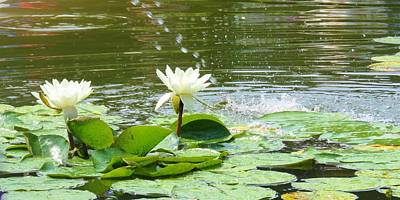 2 White Water Lilies Poster