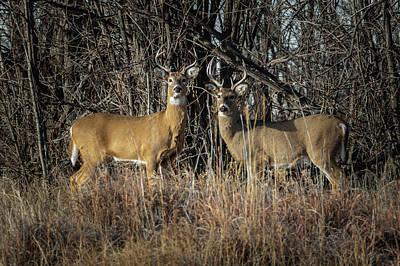 Rocky Mountain Deer Poster
