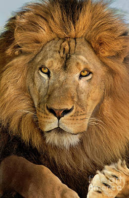 Poster featuring the photograph 656250006 African Lion Panthera Leo Wildlife Rescue by Dave Welling