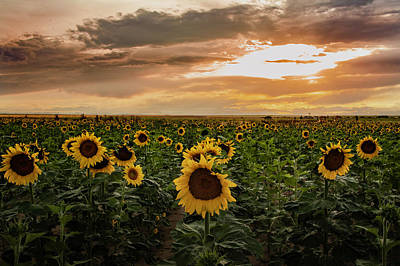 A Field Of Sunflowers At Sunset Poster