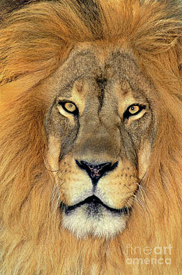 Poster featuring the photograph African Lion Portrait Wildlife Rescue by Dave Welling