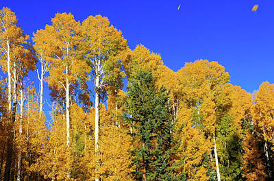 Arizona Aspens And Blowing Leaves Poster