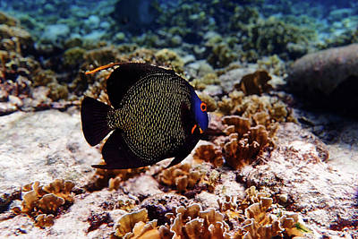 Poster featuring the photograph Aruban French Angelfish by Lars Lentz