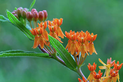 Poster featuring the photograph Asclepias Tuberosa by Dale Kincaid