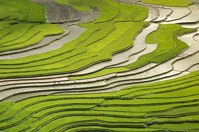 Asian Rice Field Poster