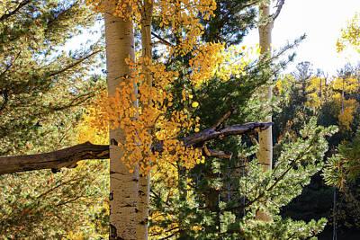 Aspen Tree Close Poster