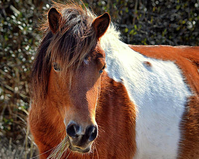 Poster featuring the photograph Assateague Pinto Mare Ms Macky by Bill Swartwout Fine Art Photography