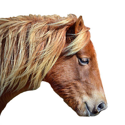 Poster featuring the photograph Assateague Pony Sarah's Sweet On White by Bill Swartwout Fine Art Photography