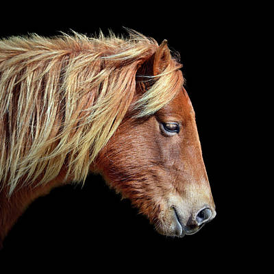 Poster featuring the photograph Assateague Pony Sarah's Sweet Tea On Black Square by Bill Swartwout Fine Art Photography