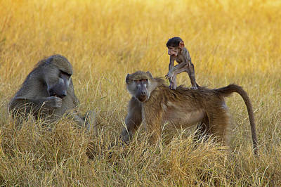 Baboons In Botswana Poster