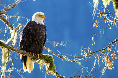 Backlit Bald Eagle In Squamish Poster