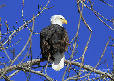 Bald Eagle And Blue Sky Poster