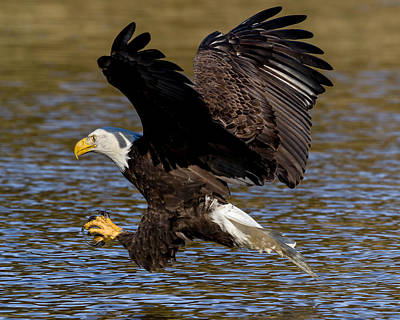 Poster featuring the photograph Bald Eagle Fishing On The James River by Lori Coleman