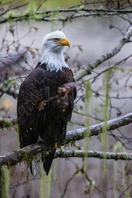 Bald Eagle In Rain Forest Poster