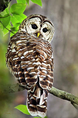 Poster featuring the photograph Barred Owl by Christina Rollo