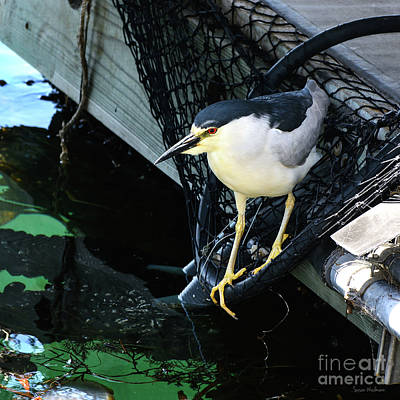 Black-crowned Night Heron Planning Its Dinner Poster