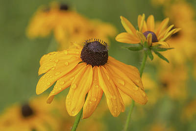 Poster featuring the photograph Black-eyed Susans by Dale Kincaid