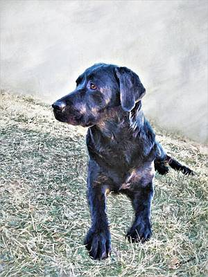 Black Labrador Retriever - Daisy Poster