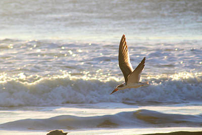Poster featuring the photograph Black Skimmer In Flight by Robert Banach